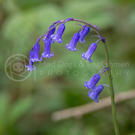 Bluebell Wood April 17