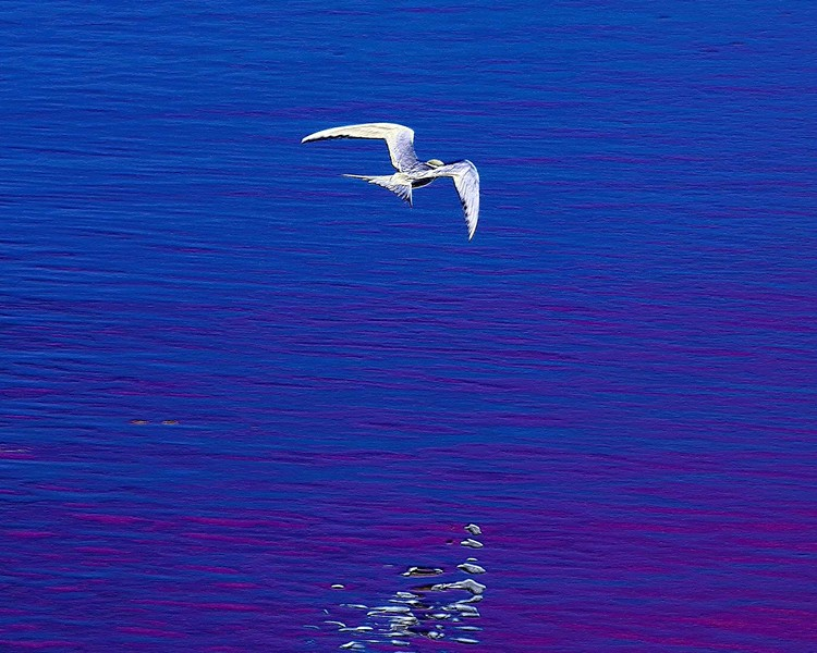 Tern Reflections