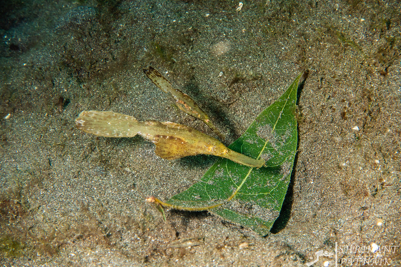 Robust Ghost Pipefish