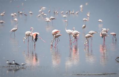 Flamingos of Tanzania