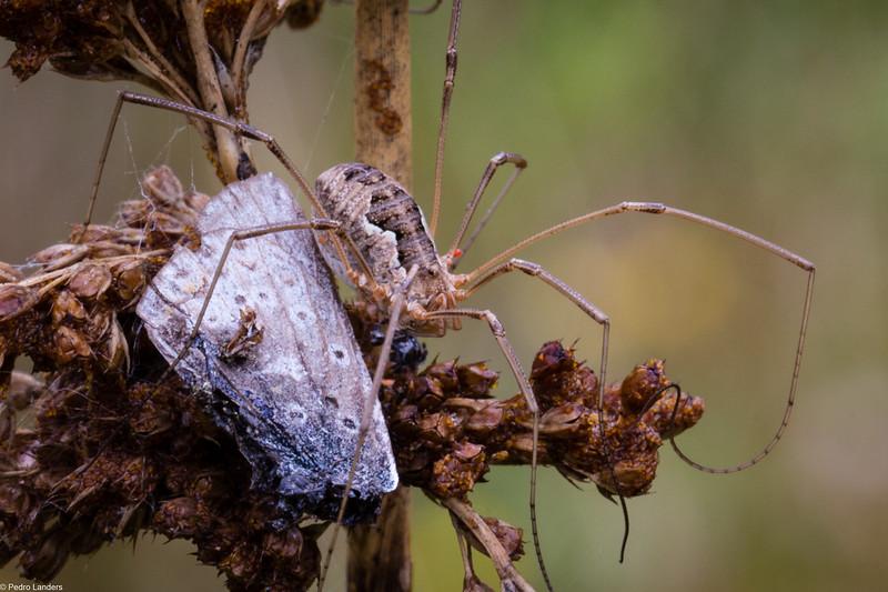 Harvestman Spider - Phalangium Opilio