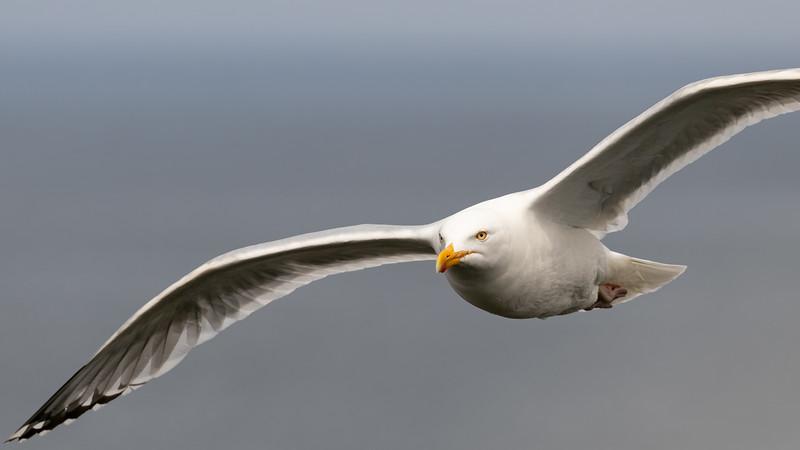 gull in flight -1344.jpg