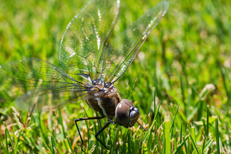 dragonfly&flowers-13.jpg