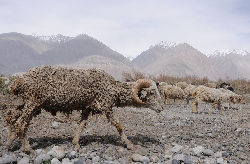 Sheep in Nubra Valley (lower than the rest of Ladakh - at only 10,500 feet).