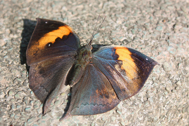 Jinghong, Wild Elephan Valley, Butterfly