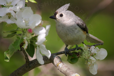 Titmouse, Tufted