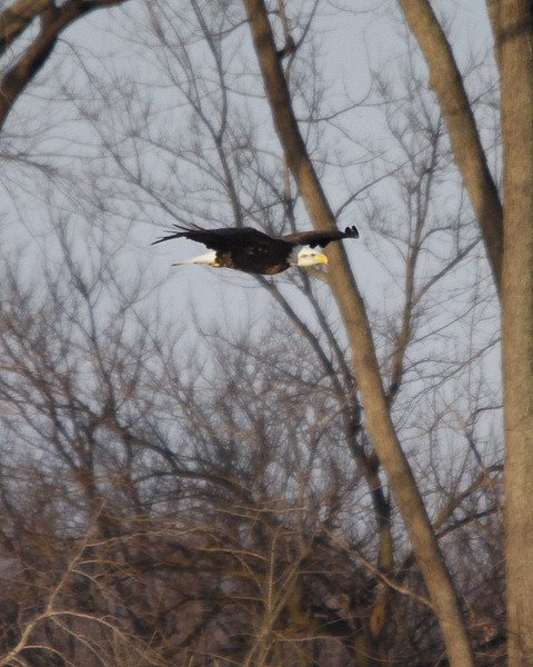 Eagles at Havana, IL