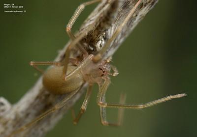 Sicariidae (Recluse Spiders)