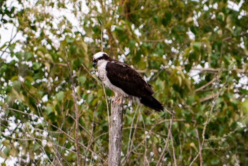 Osprey in Laurelhurst, WA