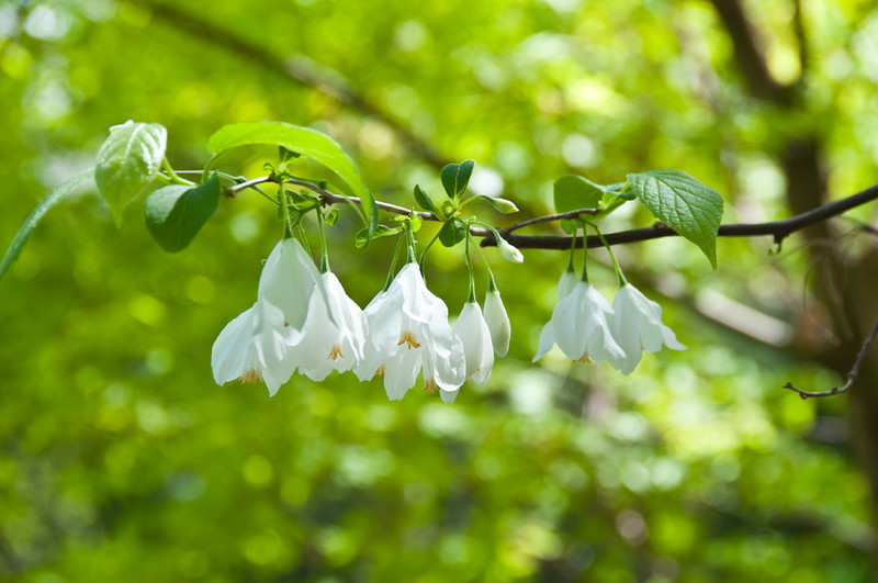 The bells are very delicate and carpet the ground in the Goat's Garden