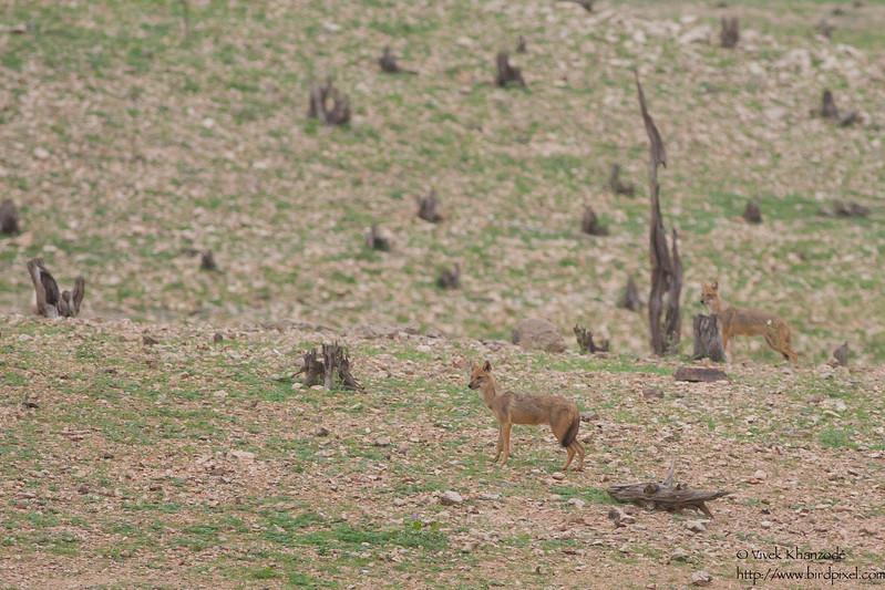 Dhole / Indian Wild Dogs - Pench National Park, Maharashtra, India