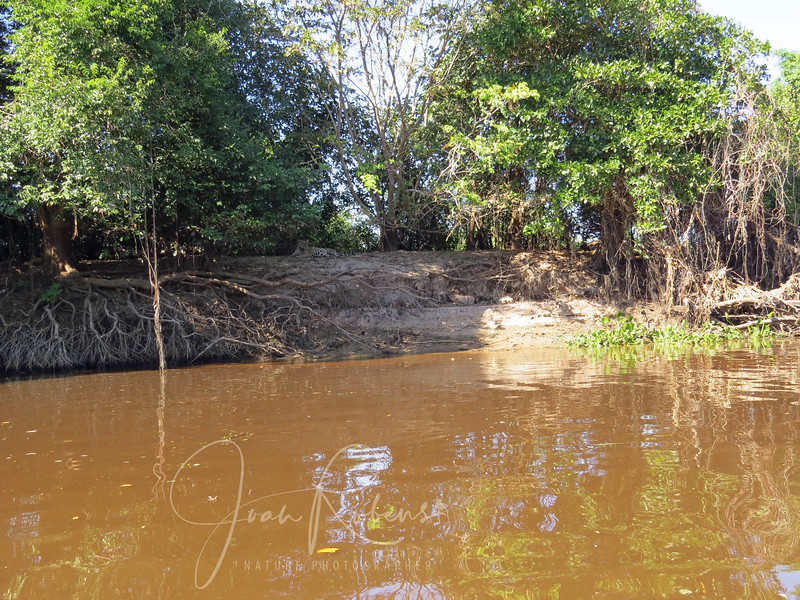 We arrived at Porto Jofre, at the end of the Transpantaneira in the evening. The next morning,  we had the first of our many boatrides exploring the Cuiaba River. Here was had our first Jaguar sighting!