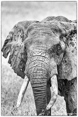 Afrikansk Savanneelefant (African Bush Elephant)