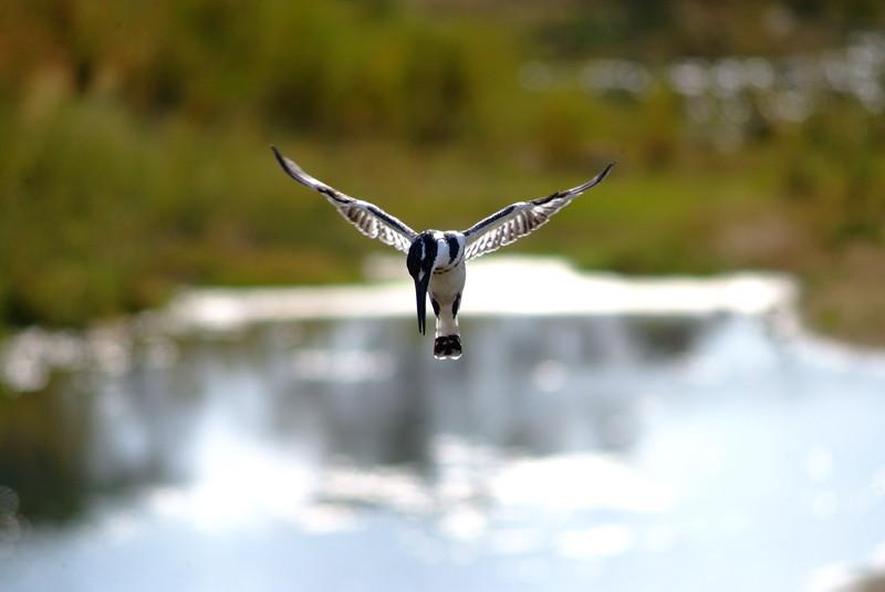 Pied Kingfisher In Flight