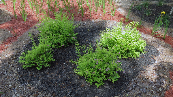 May 10:  Tracking the Yarrows, Goldmound Spirea .  .  .