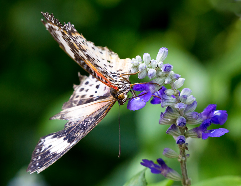 This one has me puzzled as well.   I think it's a Common Lacewing.