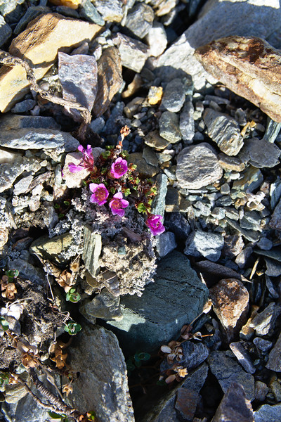 Flowers in the Moraine