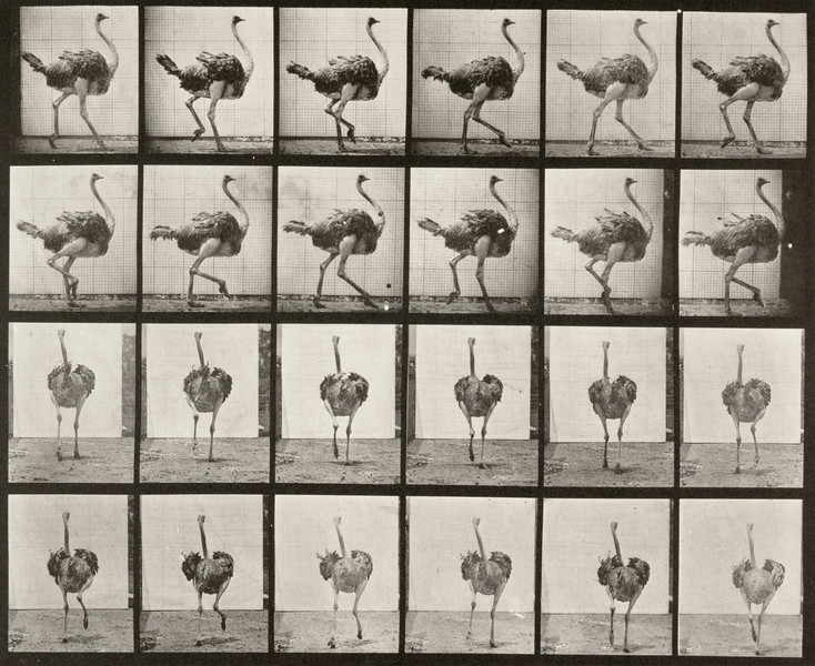 Ostrich walking (Animal Locomotion, 1887, plate 772)