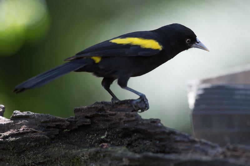 19-Sept Brazil Birds-6584.JPG