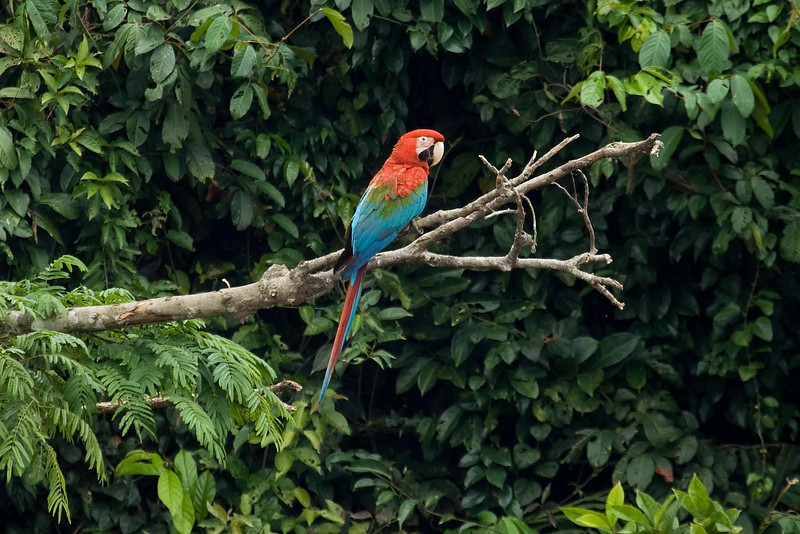 Red-and-Green Macaw (7) at Macaw Lick near Manu Wildlife Center, Peru (2008-07-10).psd