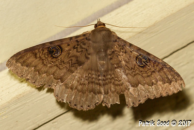 Red-bodied Theta Moth