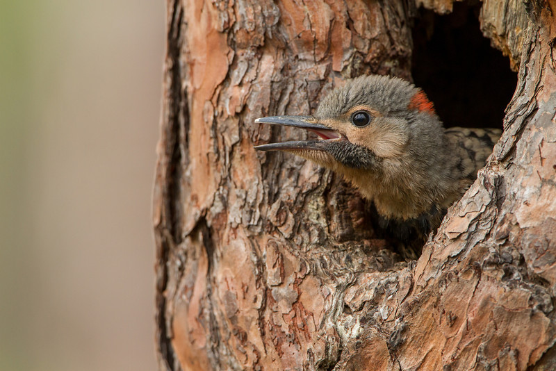 Northern Flicker Nestling 2