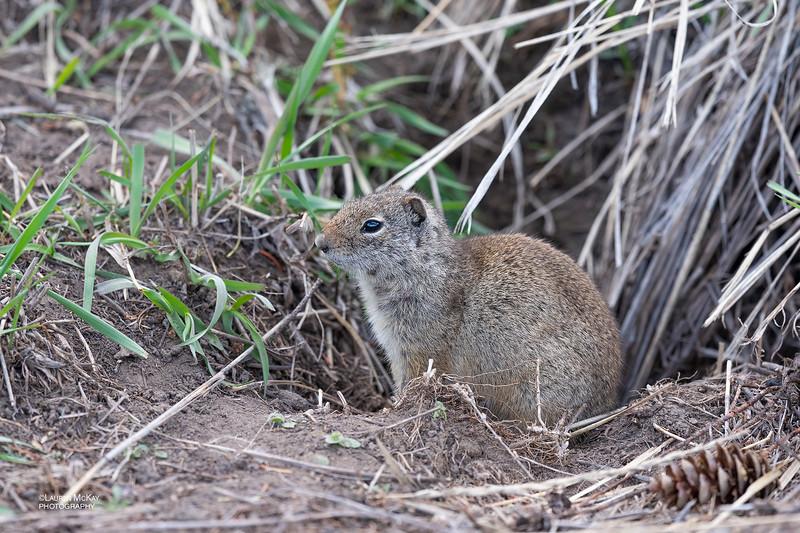 Uinta Ground Squirrel, Yellowstone NP, WY, USA May 2018-3.jpg