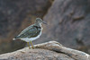 Common Sandpiper Profile