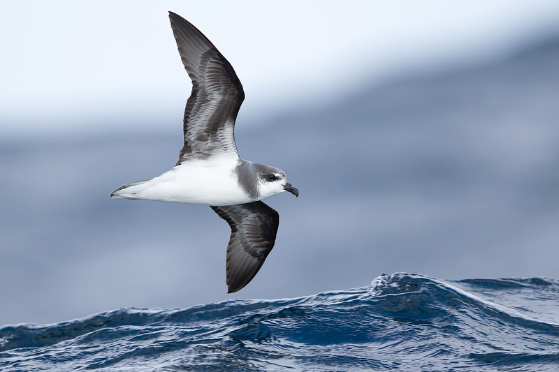 Soft-plumaged Petrel light morph