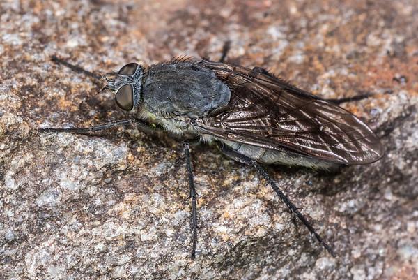 Stiletto flies (Therevidae)