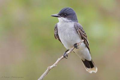 Flycatchers: Pewees, Kingbirds, And Allies