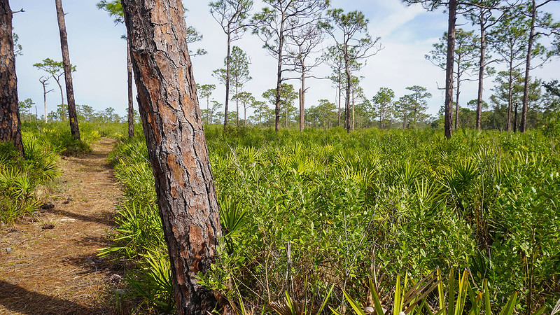Trail through saw palmetto and scattered pines