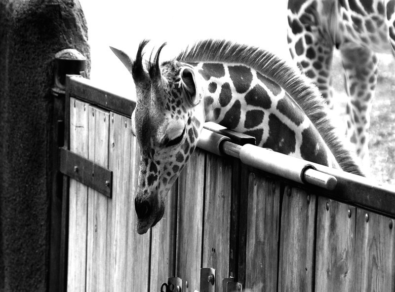 Giraffe Black and white 2.jpg