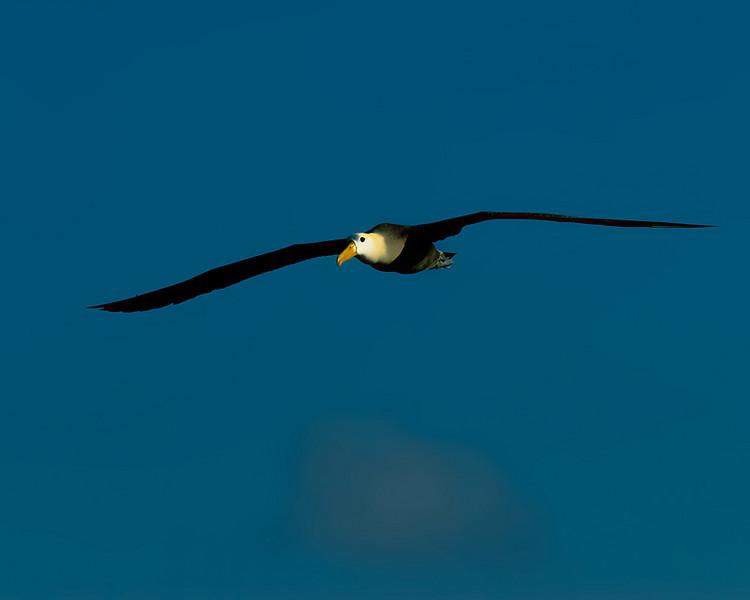 soaringalbatross.jpg