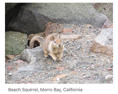 California Beach Squirrel