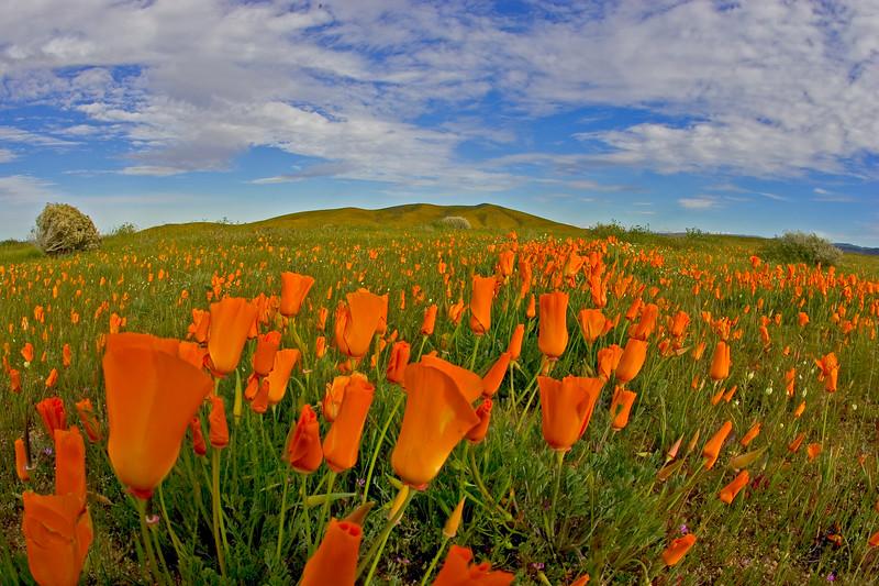 poppy preserve antelope valley california 3.jpg