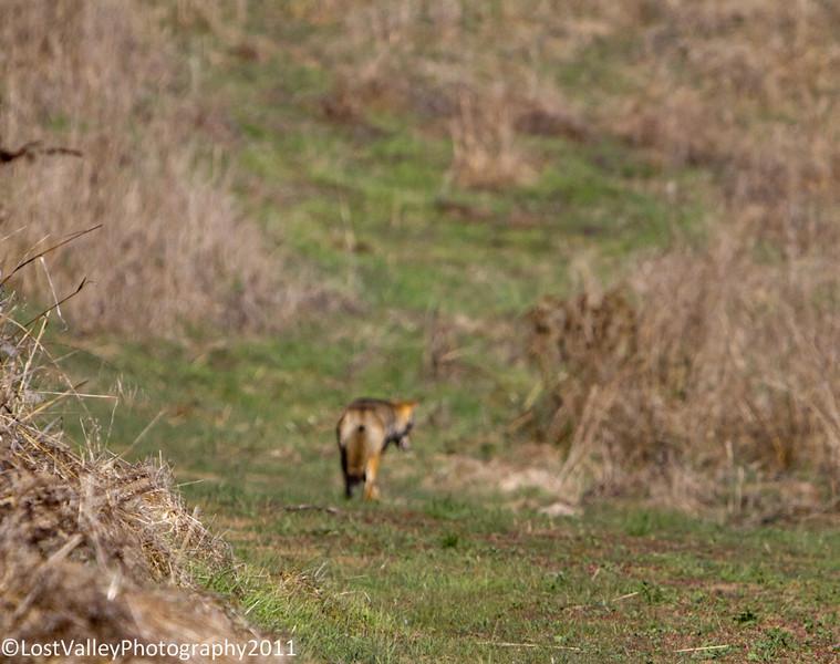 Briones-Coyote-2042.jpg
