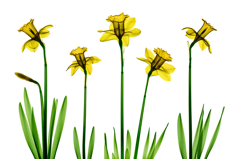 Daffodil X-Ray Collage - Colorized on White.jpg
