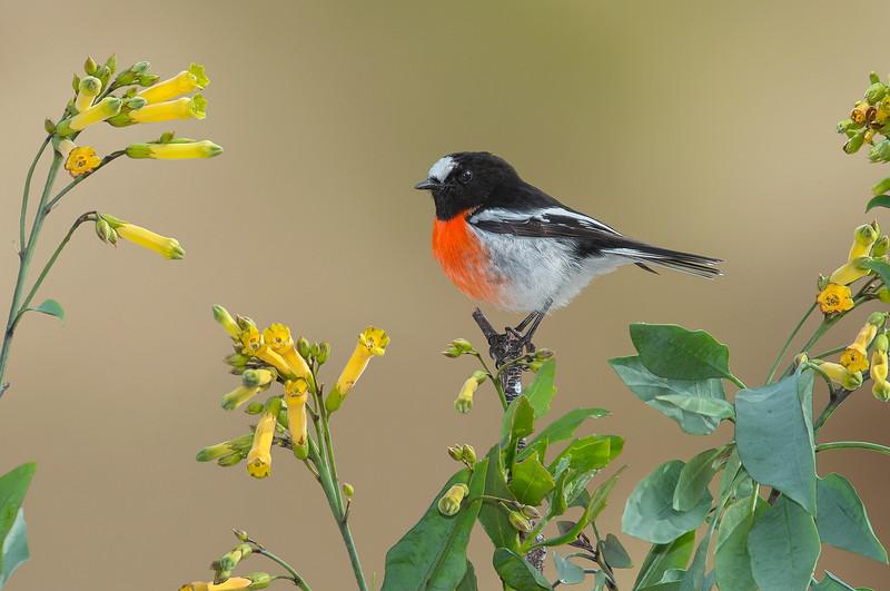 Scarlet Robin - Petroica boodang (You Yangs, Vic)