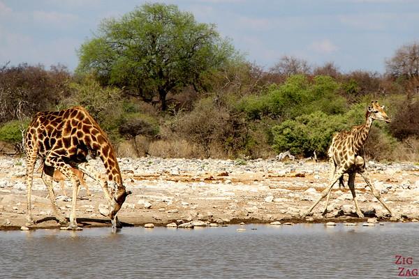Giraffe Drinking in Etosha National Park, Namibia 3