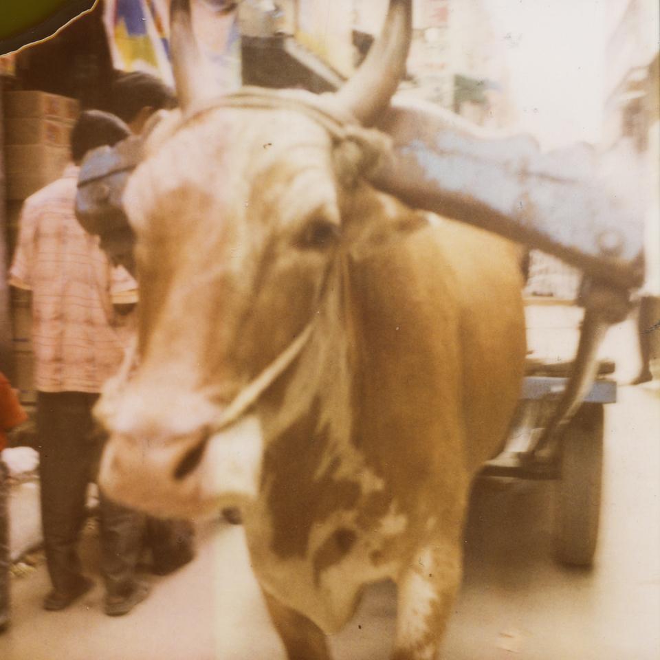cow. polaroid 600 film format.
