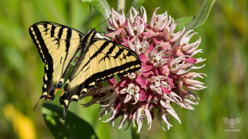Roxy Butterfly 3 16x9.jpg