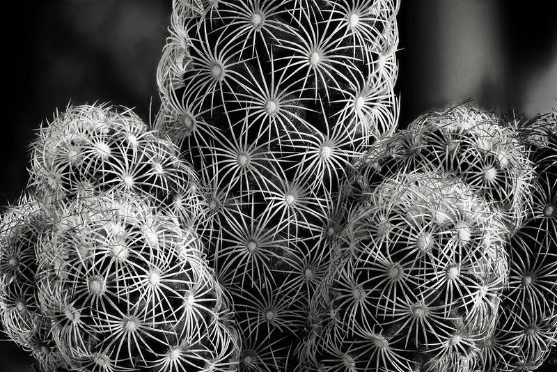 cactus cluster