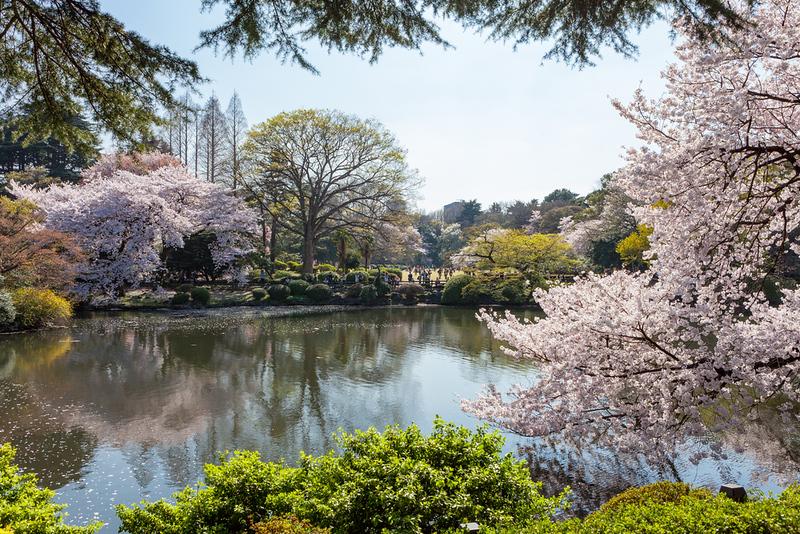 Shinjuku-gyoen Garden in cherry blossom season