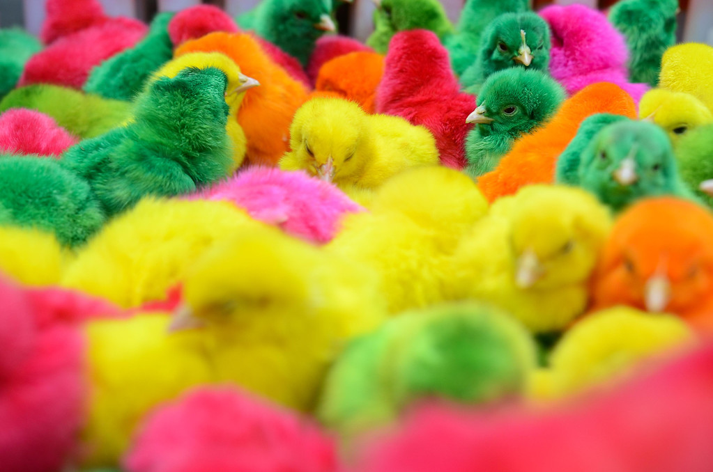 . Chicks dyed with various colors are sold in the Chinese district of Binondo on January 31, 2014 in Manila, Philippines.   (Photo by Dondi Tawatao/Getty Images)
