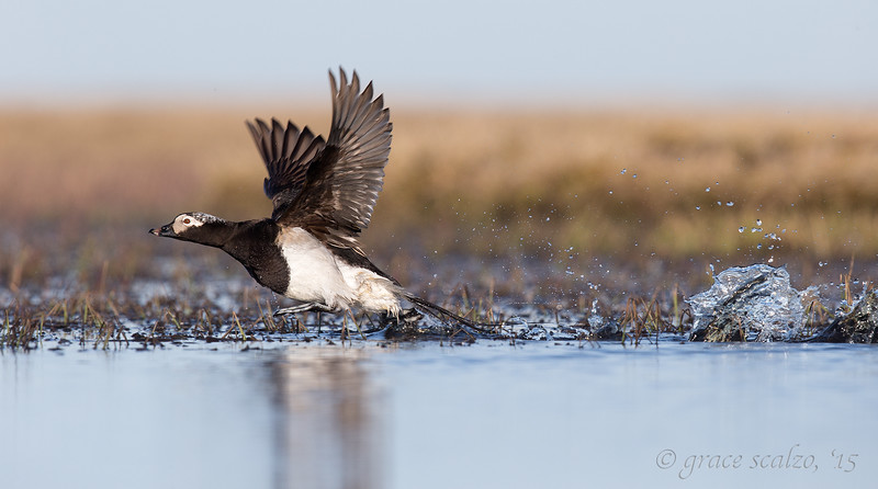 Long-tailed duck on Tundra Pond