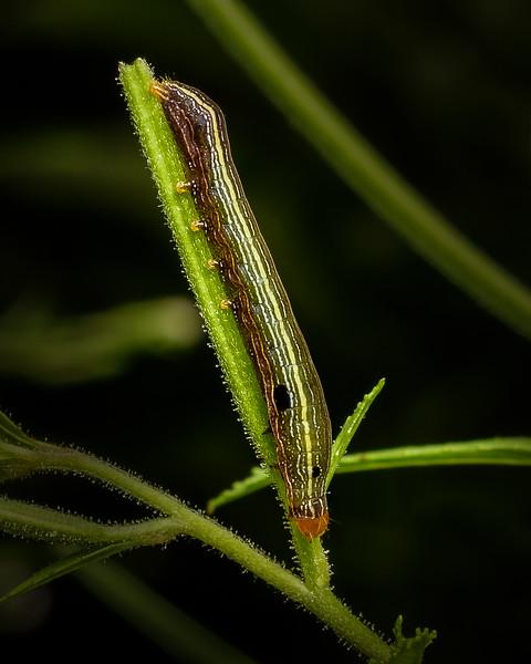 Yellow-Striped Armyworm Caterpillar - 8-19-18.jpg