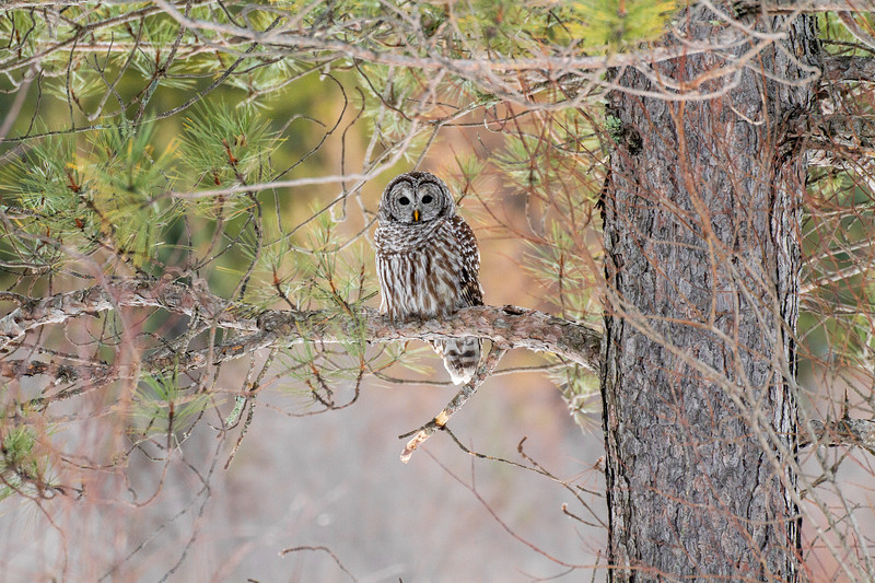 Barred Owl hunting Yellow-bellied Bog Peary Road Sax-Zim Bog MN IMG_0217.jpg