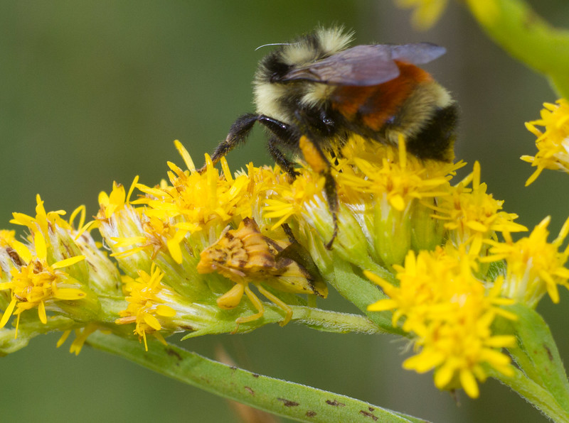 Phymata pennsylvanica Jagged Ambush Bug and Orange-belted Bumble Bee Gray Jay Way Sax-Zim Bog MN IMG_4206.jpg
