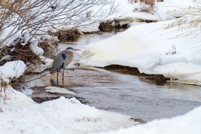 Great Blue Heron along Stone Lake Road Sax-Zim Bog MN-1774.jpg